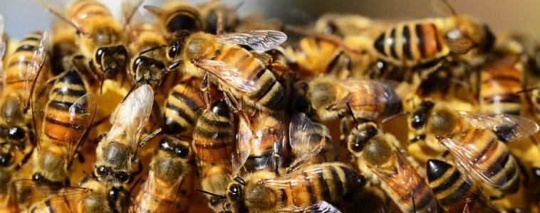 Les abeilles officiellement reconnues comme espèce en voie de disparition