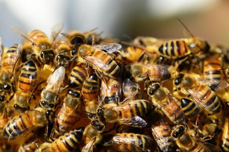 disparition des abeilles ?