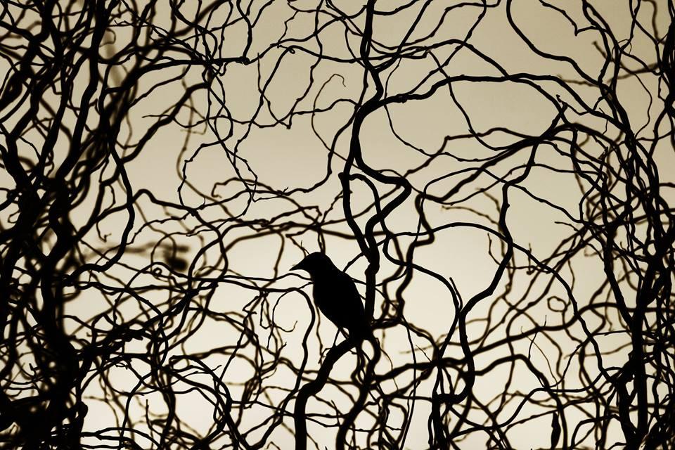 Solo corbeau