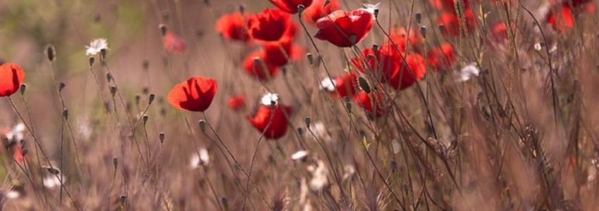 Pesticides, coquelicots et messicoles