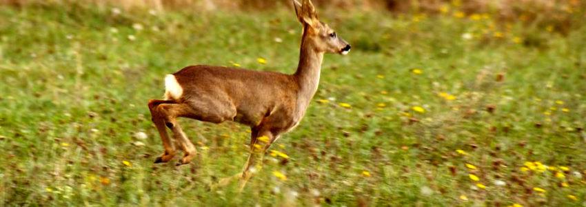 Quand les « premiers écologistes de France » anéantissent la population de chevreuils