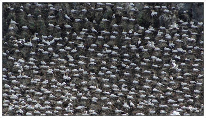 Vincent Robine : oiseaux de mer (suite)