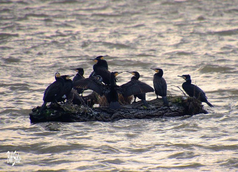 Bob Solo, plein les mirettes : cormorans sur le Rhône…